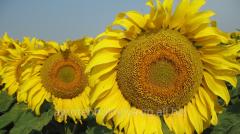 Hybrid of sunflower of SPEKE