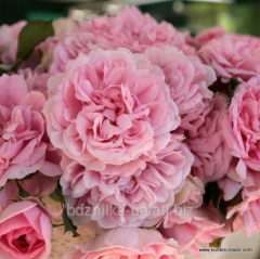 Uetersens Rosenprinzessin rose