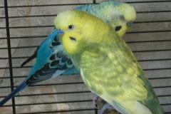 Домашний волнистый попугай, самец.
