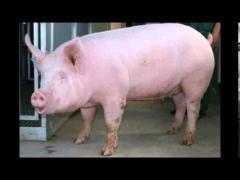 Pig-live weight