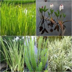 Прудовые растения (аир, пистия, ирис, камыш,