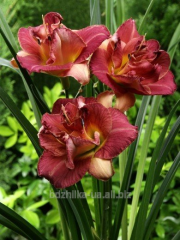 Alabama Slammer day lily