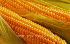 G_brid of kukurudza of krinichanskiya 257 CB, FAO
