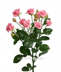 Rose spray Odilia grade Odile