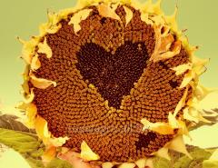 Sunflower seeds Milan Novi Sad (Serbia)