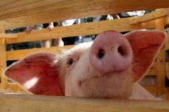 Fragrances-sweeteners in forages for pigs, KRS,