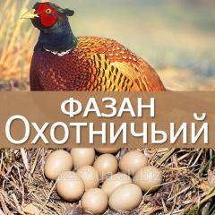 Egg hatching pheasant hunting