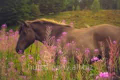 Лошади гуцульской породы