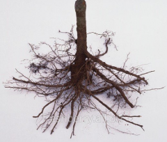 Lampone radice per la riproduzione