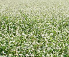 Семена гречки Девятка (посевной материал гречихи)
