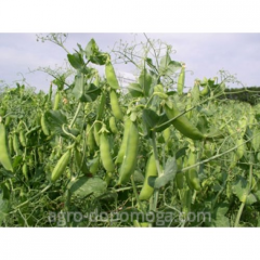 Семена горох Чек -Бек/ насіння горох Чек-Бек еліта(посівний матеріал)