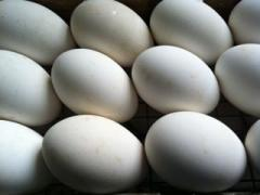 Hatchable goose eggs