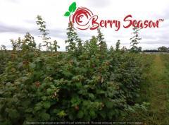 Кущи садовой малины Брусвяна