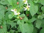 Organic fertilizer Biozufr