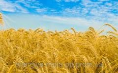 Hybrid of winter wheat of Baletk