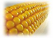 Гибрид кукурузы Бомбастик