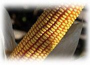 Гибрид кукурузы Эс Астероид