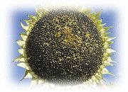 Hybrid of sunflower of Es Angélique of SL