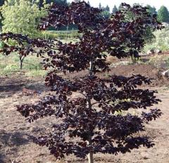 Beech forest Tortuoza Purpureya (fagus sylvatica