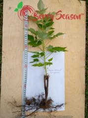 Cultivated raspberry Brusilovsky Standard