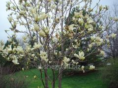 Magnolia Brooklyn Elisabeth (magnolia