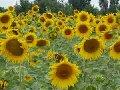 Sunflower oil, cake sunflower fodder