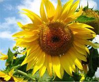 Sunflower oil, cake fodder