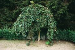 Rough Kamerdauni (Ulmus glabra Camperdownii) bole