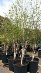 Birch useful Zhakmana multibole (Betula utilis
