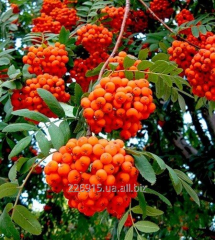 The mountain ash Red, Gorobina is red