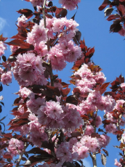 Oriental cherry Royal Burgundi (Prunus serullalta