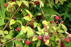 Садовые Ремонтантные саженцы малины Лесная