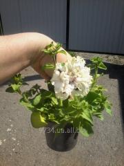 Горшкові квіти петунія,газанія,вербена,сурфінія та ін