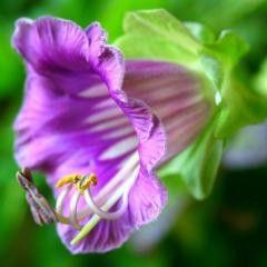 Семена цветов Кобеи Кафедральные колокола 0,3 г