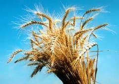Пшеница, продажа, Ровно, Украина