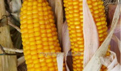 Corn seeds Amarok VN_S of FAO 220