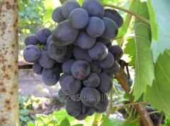 Виноград раннего срока созревания Руслан