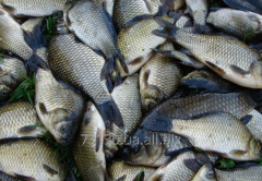 Available commodity river fish