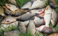 Commodity fresh river fish