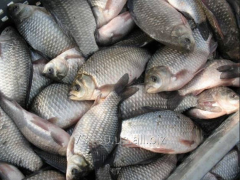 Commodity river fish