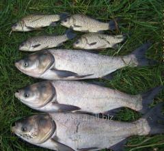 River fish of som, carp, crucian, tolstolob,