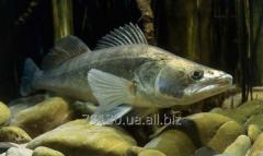 River fish pike perch, catfish, carp, crucian,