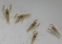 Larvae of crayfish for cultivation