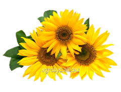 CARESSED seeds of sunflower of SI