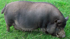 Available pigs Vietnamese - hybrid with wild