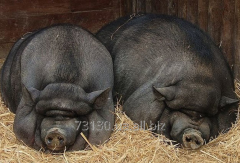 Pigs Vietnamese hybrid with wild available