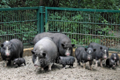 Pigs and pigs Vietnamese hybrid with wild