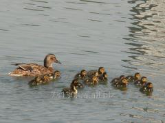 Ducklings of wild duck sobstvennovyroshcheny