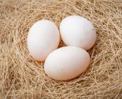 Duck eggs eggs of wild ducks