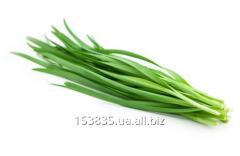 Dzhusay Tan-shansky (greens)